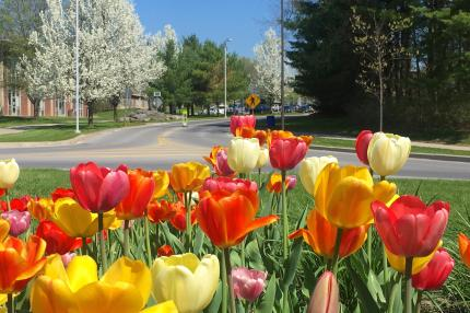 Spring tulips on campus